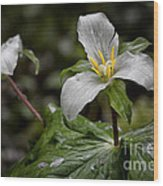 Trillium - After The Rain Wood Print