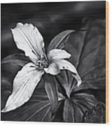 Trillium - Black And White Wood Print