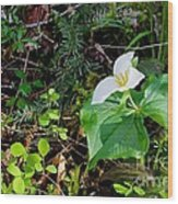 Trillium Dollar Day  Wood Print by Tim Rice