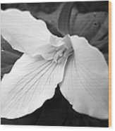 Trillium Flower In Black And White Wood Print