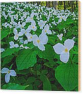 Trillium Forever Wood Print by Thomas Pettengill