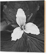 Trillium In Black And White Wood Print