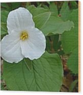 Trillium Near The River Wood Print