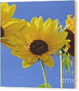 Trio In The Sun - Yellow Daisies By Diana Sainz Wood Print