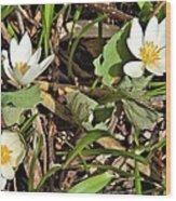 Trio Of Bloodroot Flowers Wood Print