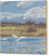 Trio Of Trumpeter Swans  Wood Print by Jymme Golden