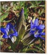 Triple Mountain Gentian Blooms Wood Print