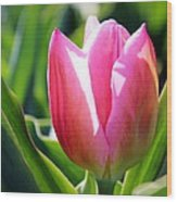 Triumph Tulip Wood Print