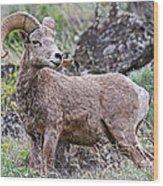 Wild Bighorn Wood Print