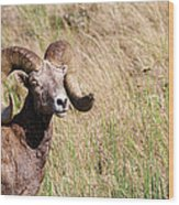 Trophy Bighorn In The Grass Wood Print