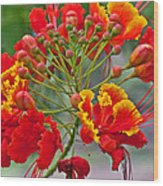 Tropical Flower Caesalpinia Red And Yellow Wood Print