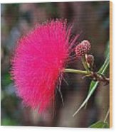 Red Mimosa Flower Wood Print