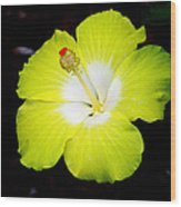 Tropical Hibiscus - Bonaire Wind 04a Wood Print