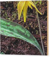 Trout-lily Erythronium Americanum Wood Print