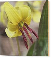 Trout Lily Or Dog-toothed Violet Wood Print