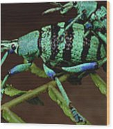 True Weevil Couple Mating Papua New Wood Print