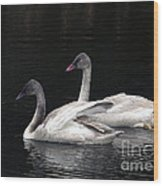Trumpeter Swan Cygnets Wood Print