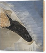 Trumpeter Swan - Safe Place Wood Print