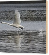 Trumpeter Swan Walking On Water Wood Print