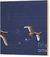 Trumpeter Swans In-flight Wood Print
