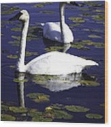 Trumpeter Swans In The Blue Wood Print