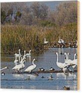 Trunda Swans  Mixed Ducks Wood Print