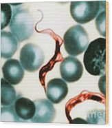 Trypanosoma Lewisis Wood Print by Science Source