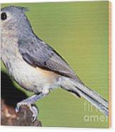 Tufted Titmouse Parus Bicolor Wood Print