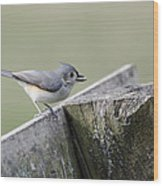Tufted Titmouse With Seed Wood Print