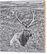 Tule Elk In Black And White  Wood Print