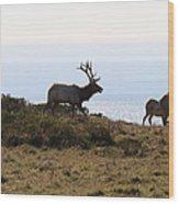 Tules Elks Of Tomales Bay California - 7d21230 Wood Print