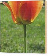 Tulip Backlit 14 Wood Print