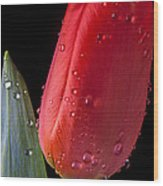 Tulip Close Up Wood Print by Garry Gay