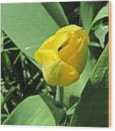 Tulip Day Old Bud Wood Print