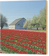 Tulip Field In Washington Stae Usa Wood Print