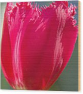Tulip On The Gray Background Wood Print