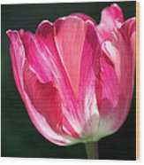 Tulip Painted In Shades Of Pink Wood Print by Rona Black