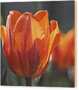 Tulip Prinses Irene Wood Print by Rona Black