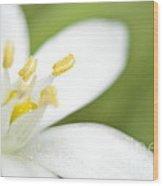 Tulip Shmulip Wood Print by Sheldon Blackwell