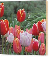 Tulip Tango Wood Print
