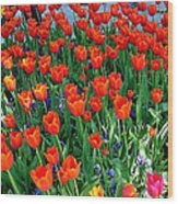 Tulips Are A Turkish Flower Bytopkapi Palace In Istanbul-turkey Wood Print