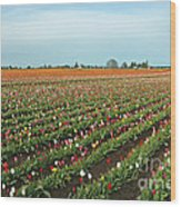 Tulips As Far As The Eye Can See Wood Print by Nick  Boren