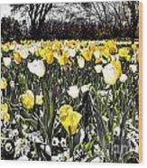 Tulips At Dallas Arboretum V26 Wood Print