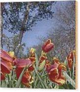 Tulips At Dallas Arboretum V37 Wood Print
