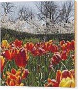 Tulips At Dallas Arboretum V39 Wood Print