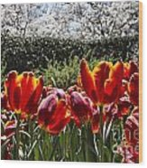 Tulips At Dallas Arboretum V41 Wood Print
