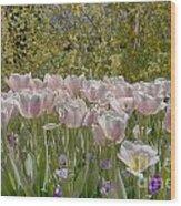 Tulips At Dallas Arboretum V45 Wood Print