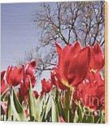 Tulips At Dallas Arboretum V62 Wood Print