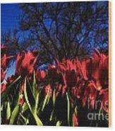 Tulips At Dallas Arboretum V63 Wood Print
