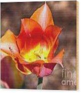 Tulips At Dallas Arboretum V64 Wood Print